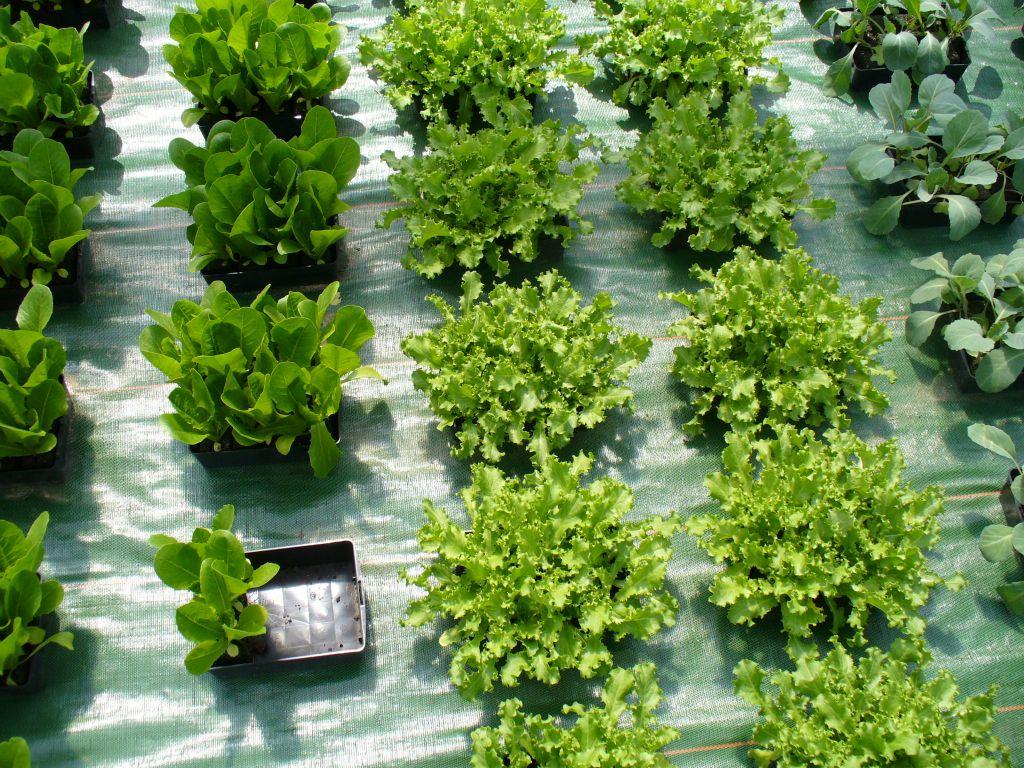 Jardinage le jardin d albert vente de plant bio plante for Jardin et jardinage